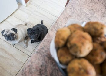 a couple of pugs waiting to be fed