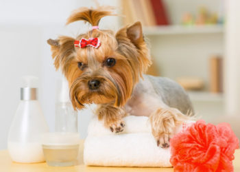 Puppy with red ribbon clip standing beside white towel, red loofah and bottles of lotion and shampoo