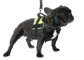 black french bull dog wearing yellow harness