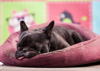 Sleeping black french bull dog on maroon dog bed