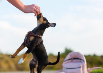 Puppy with harness jumping to reach a treat from its owner