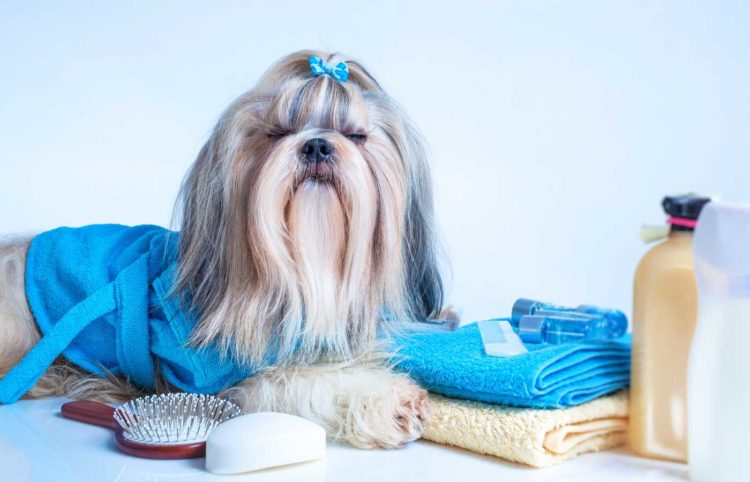 shih tzu with blue ribbon and robe laying beside towels, a brush, a soap and bottles of shampoo