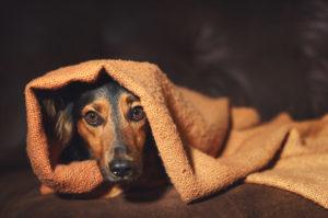 anxious dog under a blanket