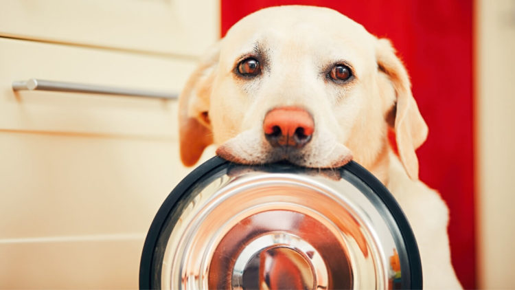 White dog carrying empty metal food bowl on its mouth