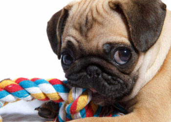 A puppy pug munching on colorful rope toy