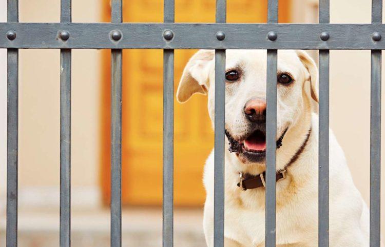 Yellow labrador retriever waiting behind the gate