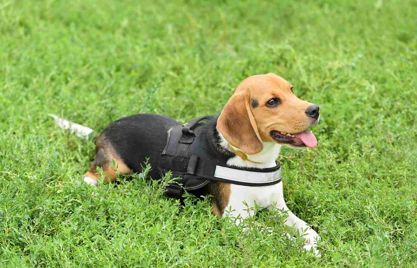beagle with harness relaxing on grass
