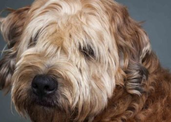 goldendoodle with beautiful hair close up