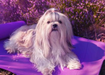 long hair shih tzu laying in a purple mat