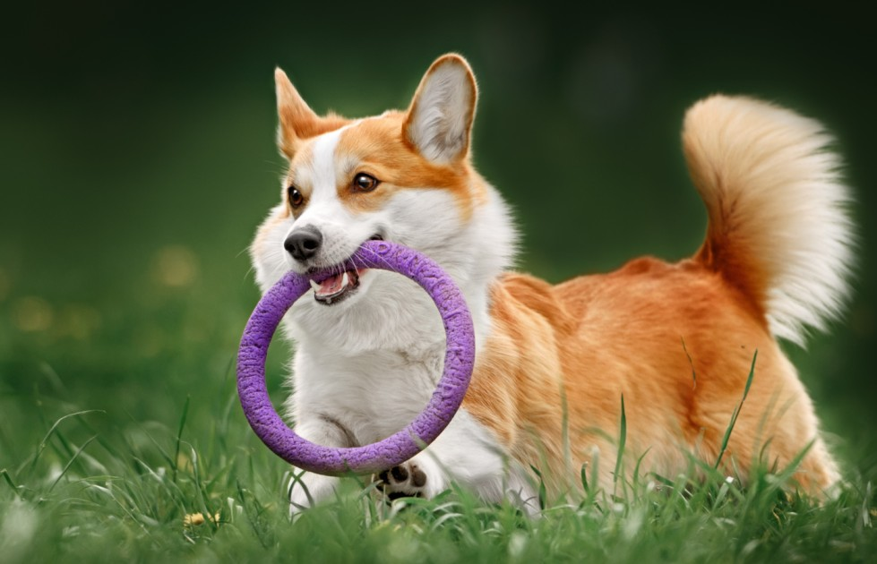 corgi dog playing on the grass with toy ring on mouth