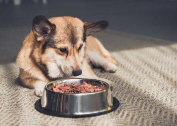 corgi lying on floor looking at bowl full of dog food