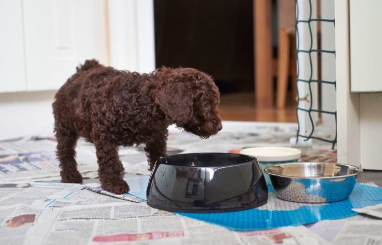 puppy poodle looking on a dog food bowl