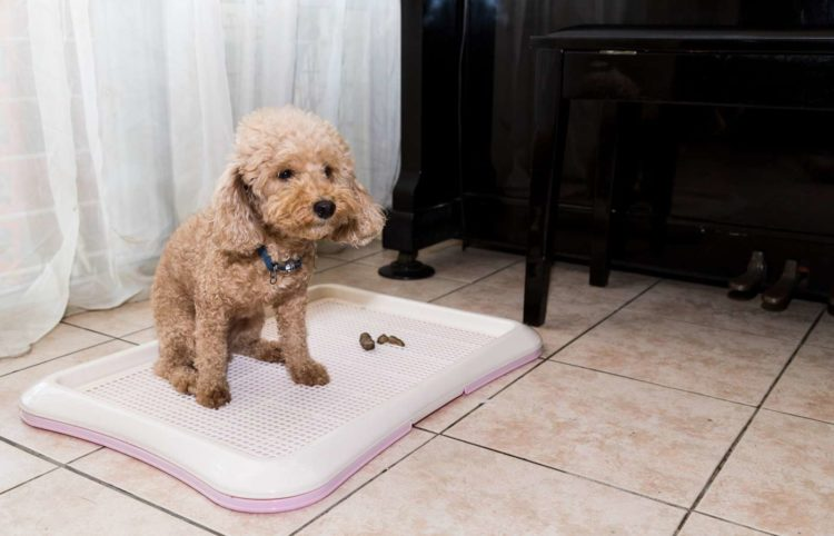 cute puppy poodle sitting on training pad with poop on the side