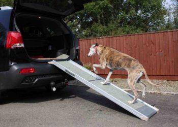 big dog walking up a black suv with a ramp