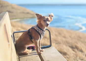 chihuahua sitting on a bench seat wearing a harness