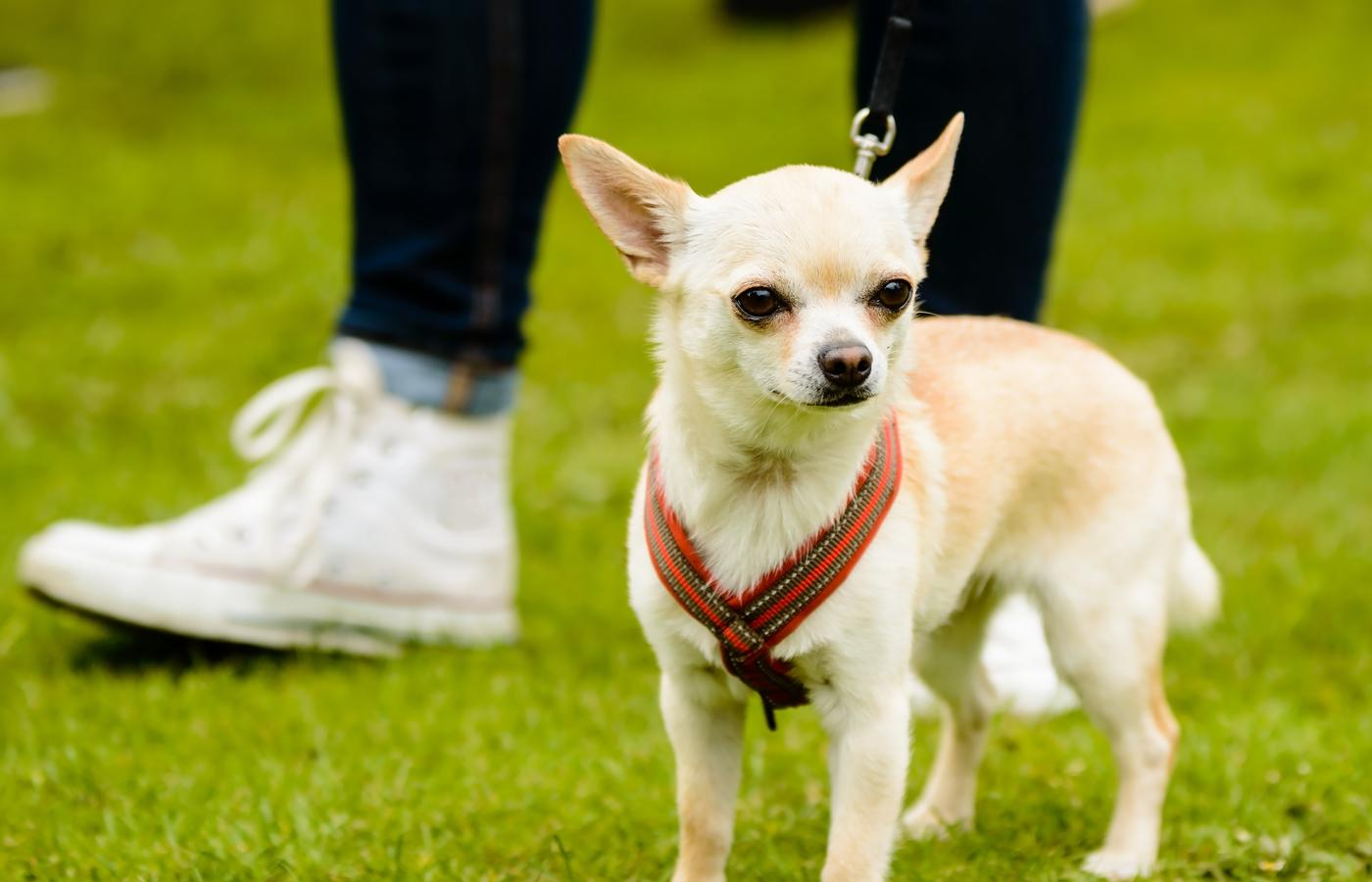 cute chihuahua standing on grass with red harness