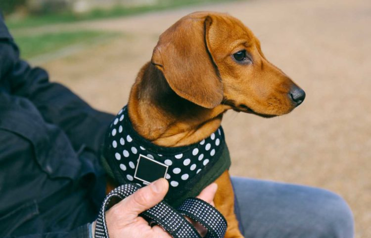 brown dachshund wearing a harness and sitting on the lap of a man