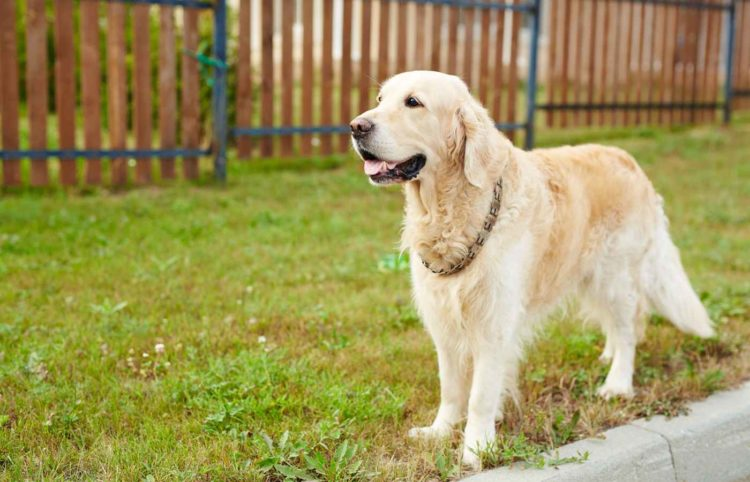 labrador dog standing on grass with fences at the back