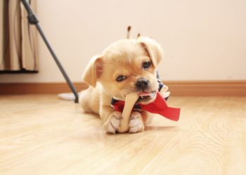 puppy with red and black ribbon eating dog chews