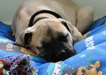 mastiff sleeping on his blue covered bed