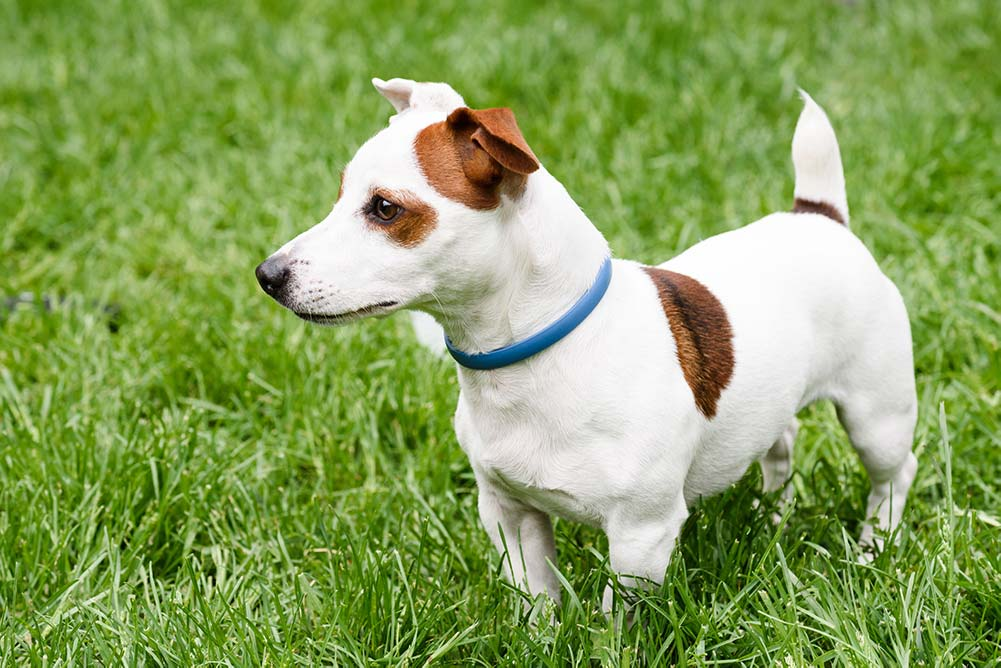 jack russell with flea collar