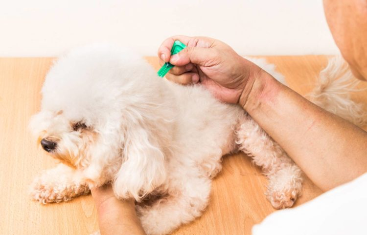 white puppy being cured with a tick and flea medicine