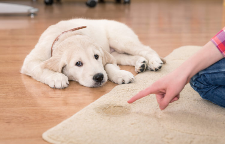 puppy labrador laying guilty on a carpet stain