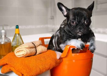 black puppy bulldog on a orange plastic basin with bubbles on body