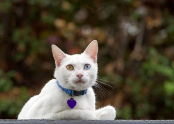 white cat laying with blue collar with purple heart pendant