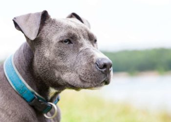 a serious gray pitbull with blue collar