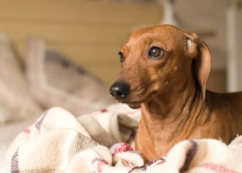 brown dachshund laying on bed with crumpled blanket