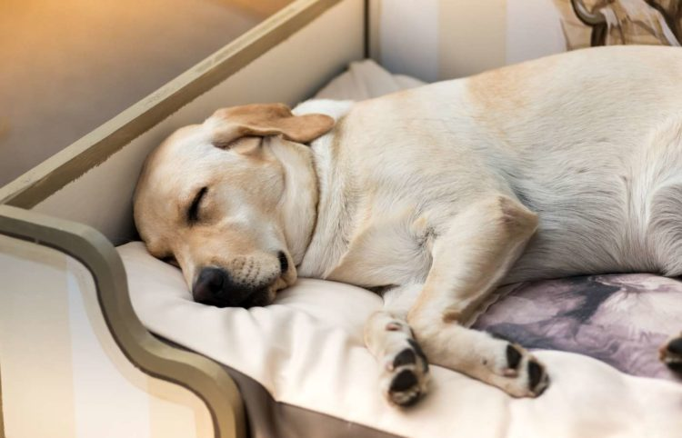 labrador dog peacefully sleeping on his bed