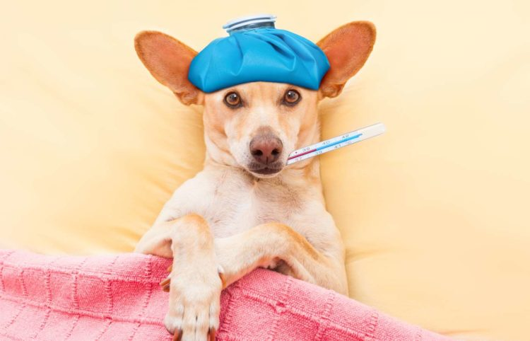 sick dog with thermometer on mouth