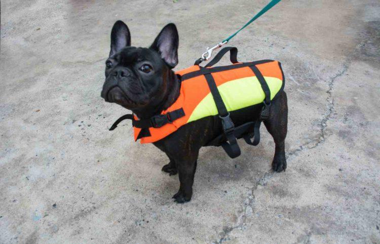black bulldog wearing an orange-yellow life jacket
