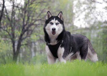 husky standing on grass wearing harness