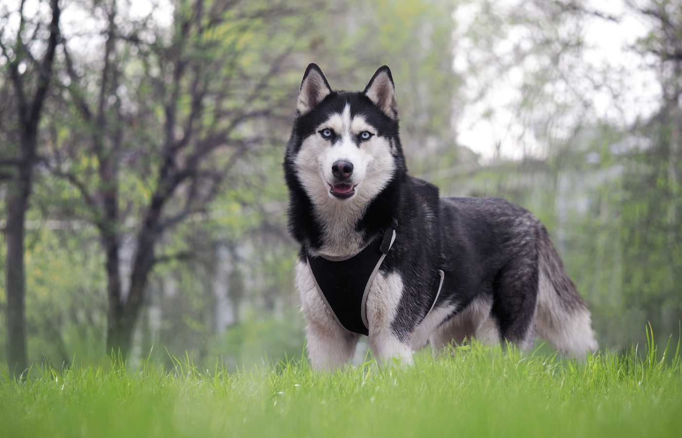 husky standing on grass wearing harness