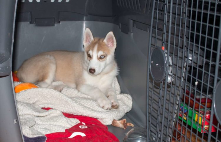 puppy husky laying on his open kennel
