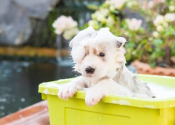 puppy husky full of soap all over his body inside a yellow plastic tub