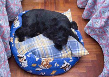 black schnauzer laying on blue dog bed
