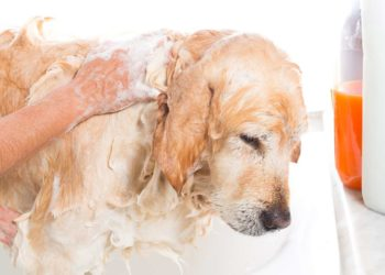 adorable golden retirever taking a bath