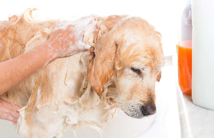 adorable golden retirever taking a bath
