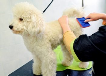 A person brushing poodle dog hair with a brush