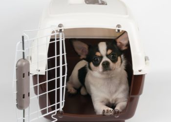 black and white chihuahua inside a crate