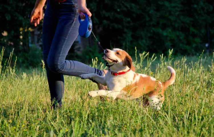 the playful brown dog with his girl owner holder a retractable leash