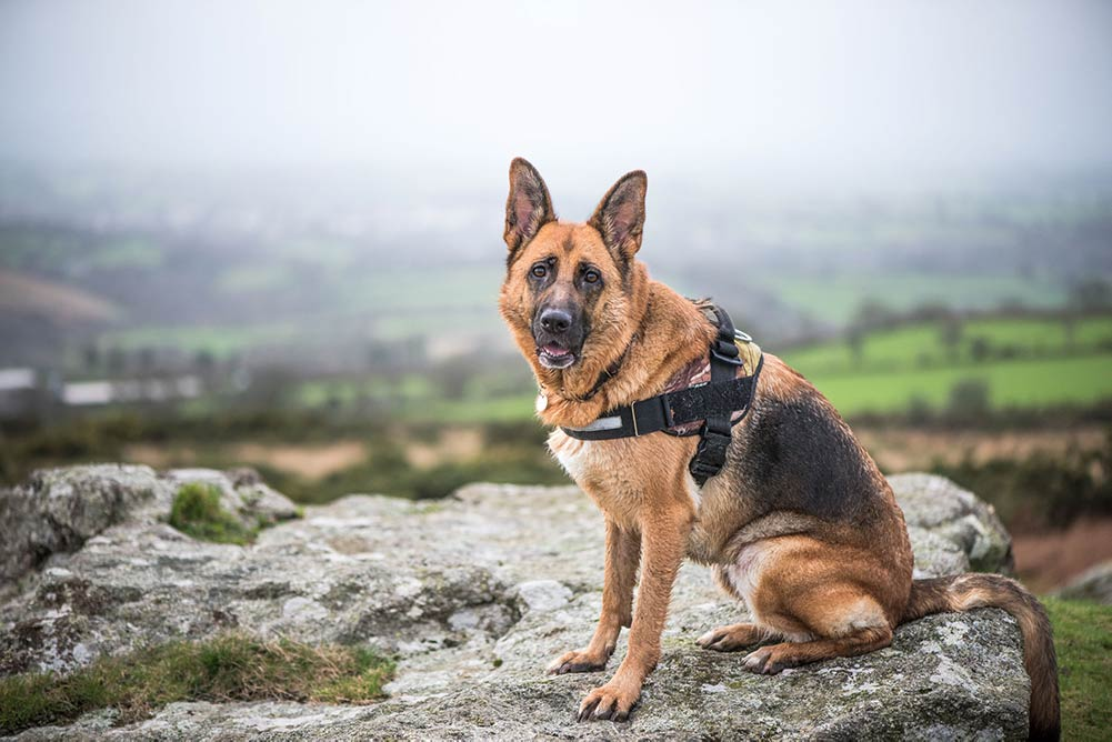 German shepherd sitting on a rock