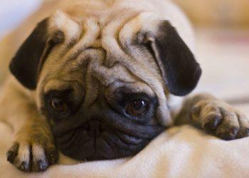 Sad pug lying staring