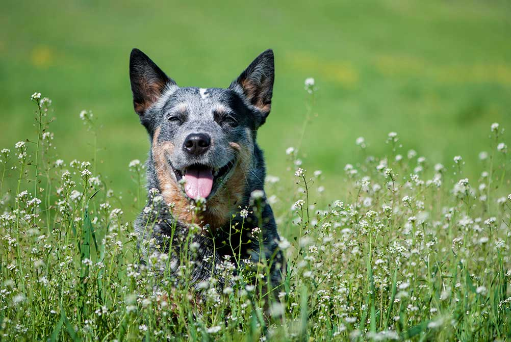 Australian cattle dog outside in a field