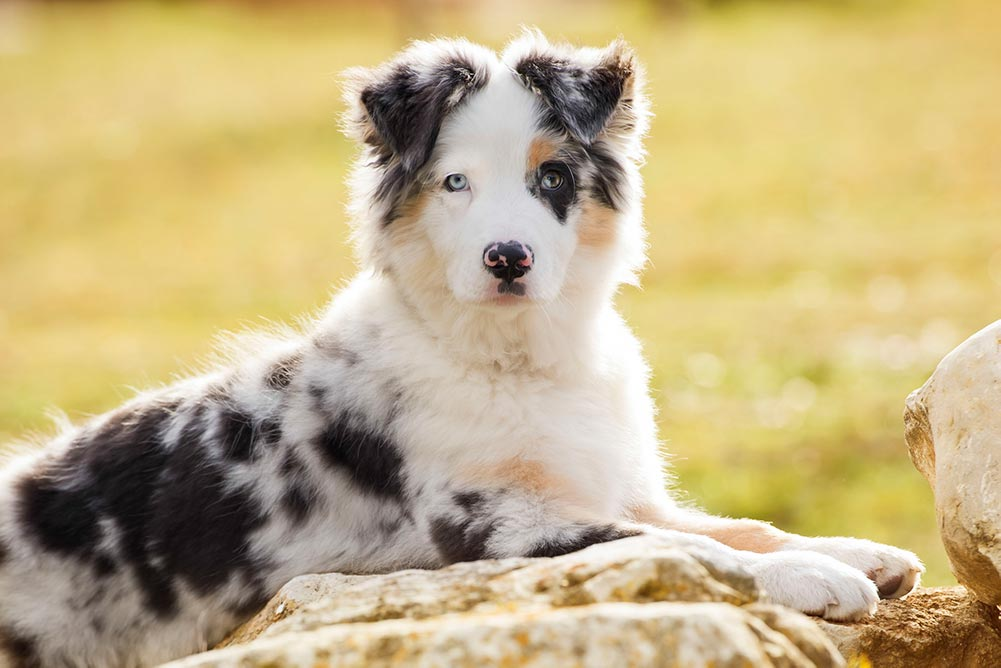 young australian shepherd outside
