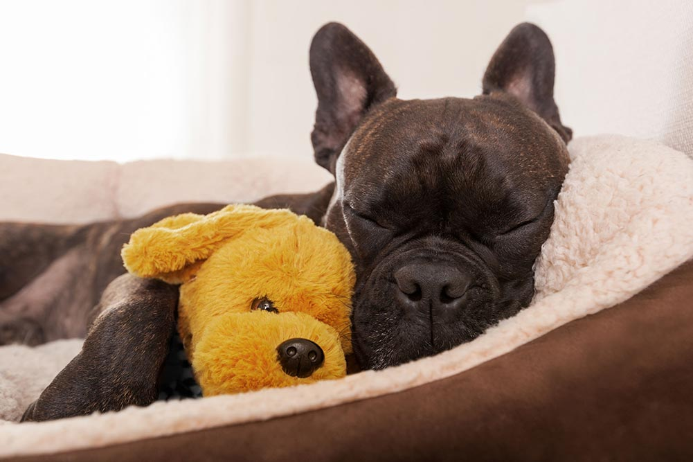 sleeping frenchie with a yellow teddy