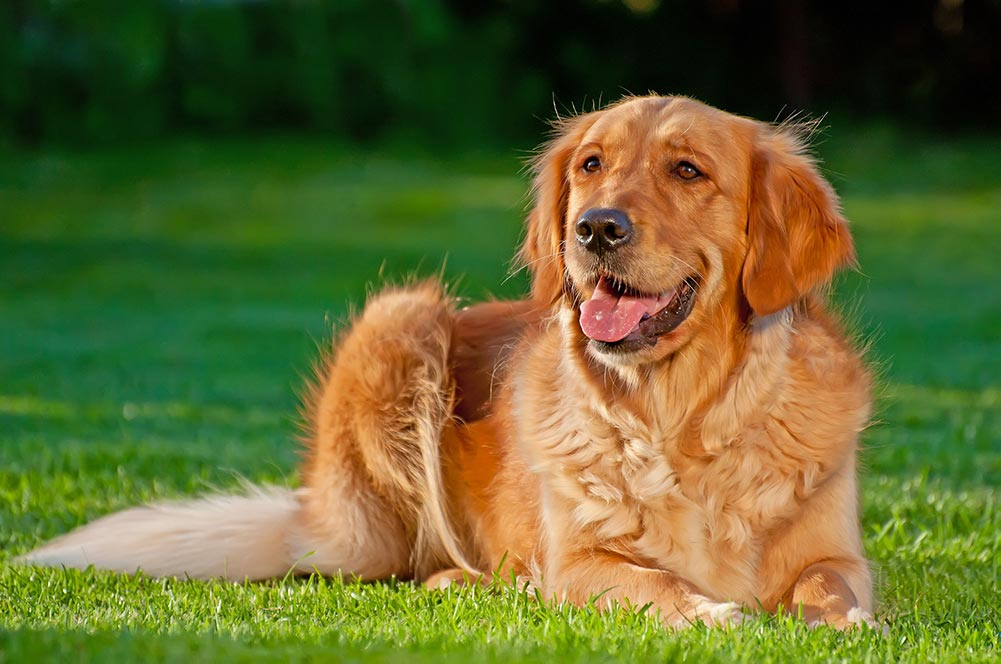 golden retriever laying on the grass
